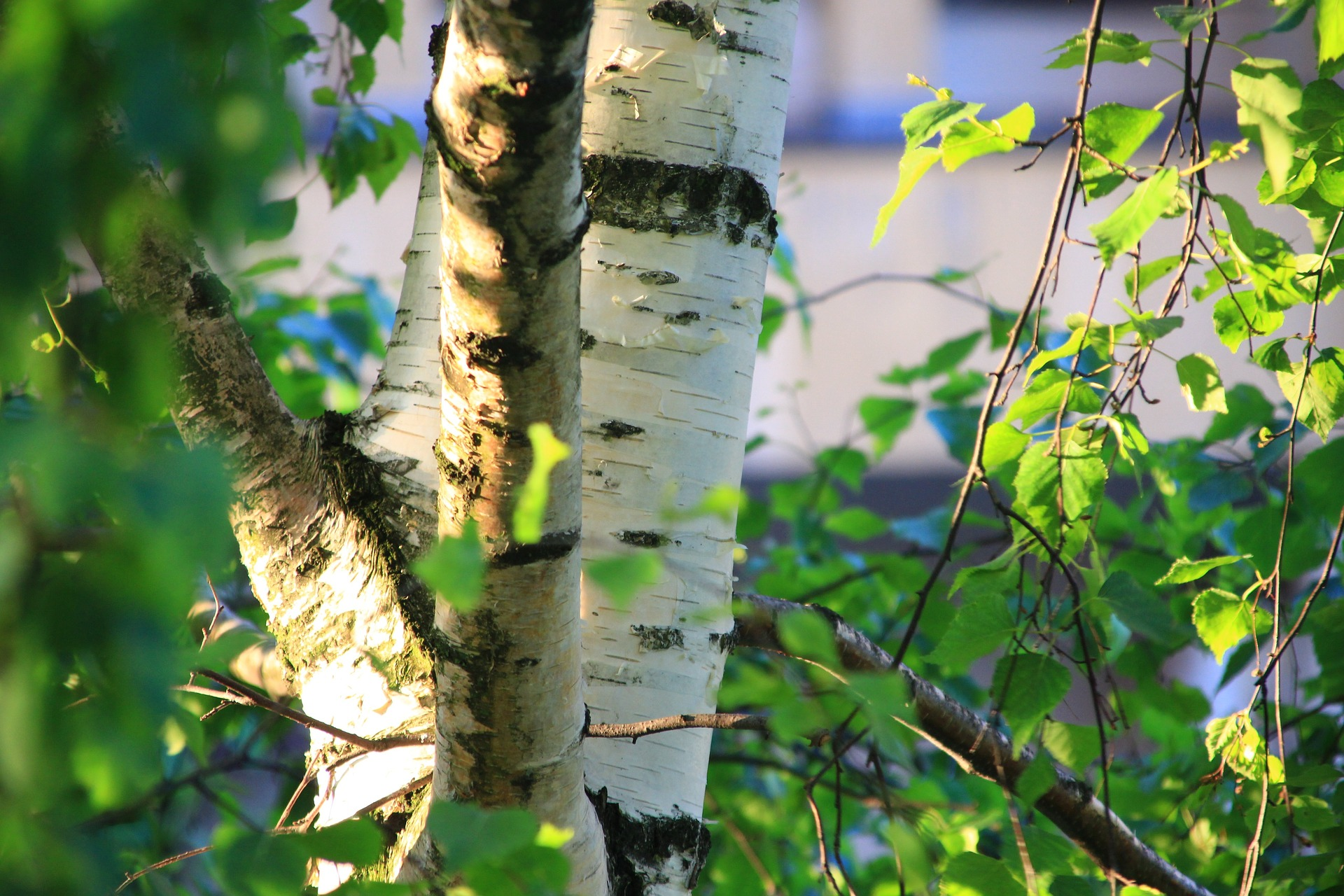 Menučka magazín - Príroda – Zdroj chutí azdravia - breza