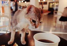 mačacie kaviarne