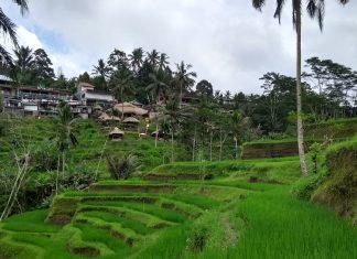 Ryžové terasy - Bali Indonézia - menučka magazín